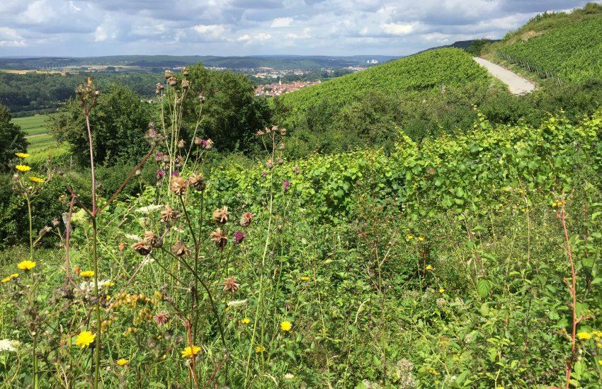 Spaziergang in den Weinbergen von Thüngersheim